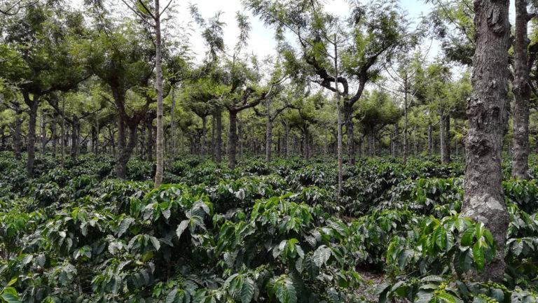 Plantation classique